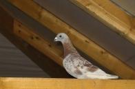Surý.eu - regulace populace městských holubů