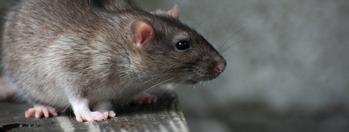 Myši v dřevostavbě