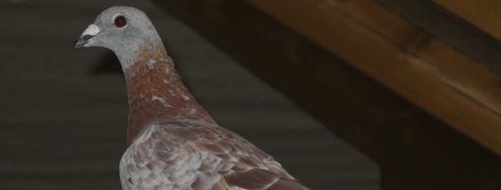 Nové metody regulace populací městských holubů a výklad platných právních předpisů